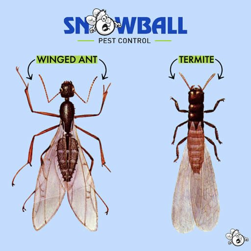 Winged Ant and Termite remediation by Snowball Pest Control